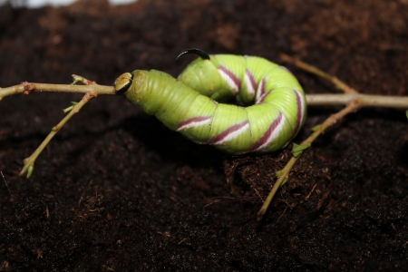 arthropod: sphinx ligustri caterpillar