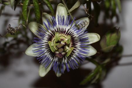 passiflora: passiflora caerulea