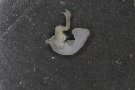 bearded dragon embryo Stock Photo