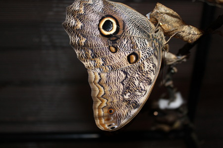 Caligo memnon butterfly close up wings Stock Photo