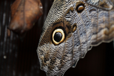 Caligo memnon butterfly, wings close up Stock Photo