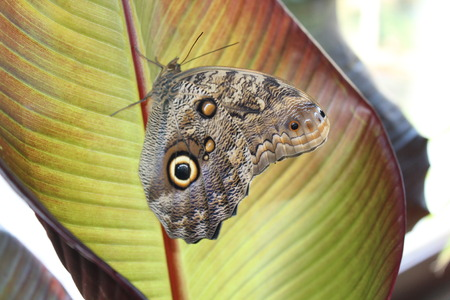 Caligo memnon butterfly with green leaf background