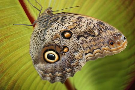 Caligo Memnon close up