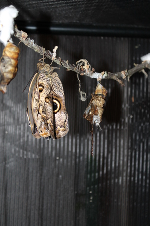 Caligo memnon butterfly hanging, early stage