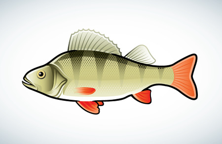Illustrazione vettoriale di un pesce persico isolata on white