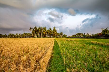 Path separating yellow versus green field leading to coconut trees Stock Photo