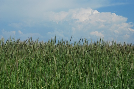 rye and wheat on the field in the natural Stock Photo - 9378135