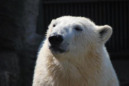 polar bear looks into the sun and enjoy the heat