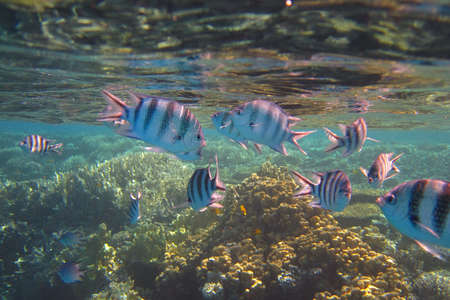 lots of colorful fish on a coral reef in the red sea photo