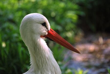 red beak: beautiful white stork with a red beak
