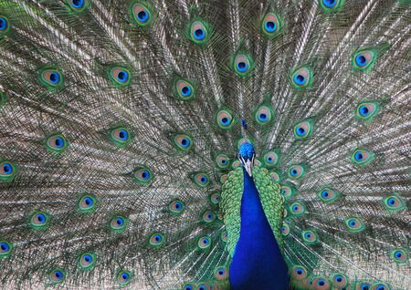 common peafowl: beautiful peacock from the zoo looks into the camera