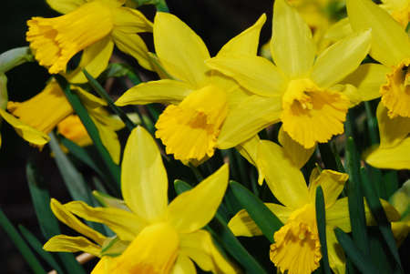 big view of many yellow daffodils in spring photo