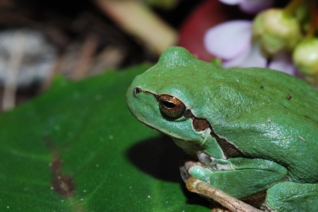close-up of a green tree frog close photo
