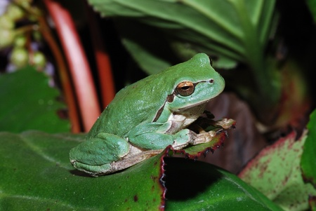 little green frog sitts at the end of a big great leaf