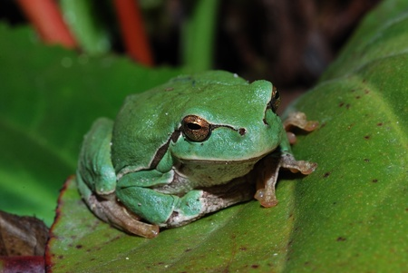 little green frog is sitting on a great green leaf photo