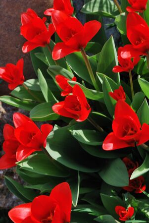 lot of red tulip flower in the spring Stock Photo