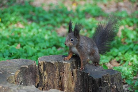small squirrel sitting on a tree stump Stock Photo