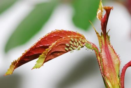 many aphids on rose leaf in springtime