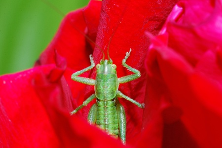 green grasshopper comes from red bloom photo