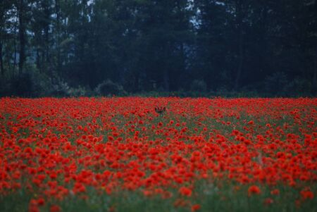 deer hides in the beautiful red poppy field photo
