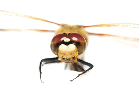 dragonfly looks at the camera with facet eyes photo