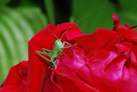 small green grasshopper comes from bleed red