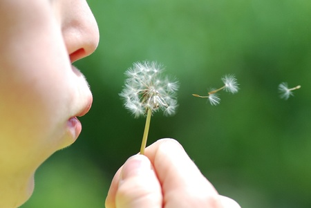 child and fresh blowball blow during the summer