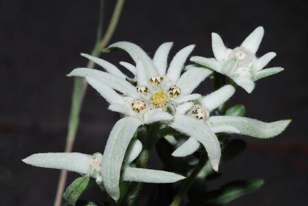 beautiful fresh white edelweiss flowers photo