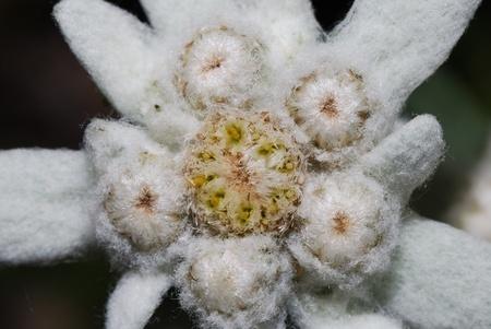 Schöne frische weiße Edelweiß Blumen sind größere Ansicht Standard-Bild - 11020541