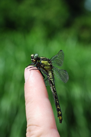large dragonfly sitting on a finger in the garden hochformat Stock Photo - 11271055