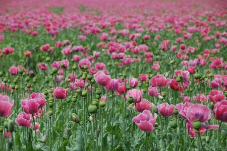 lots of fresh pink poppy field on a photo