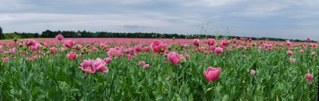 panoramic view of pink poppy field in summer photo