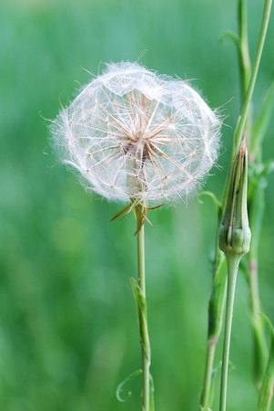 nice big white blowball on a field in the natural photo