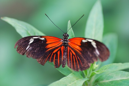 nice big colorful red black butterfly on leaf in rainforest photo