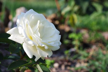 beautiful white fragrant rose in the spring photo