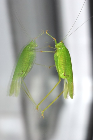 large green grasshopper sitting on a glass pane on the window photo