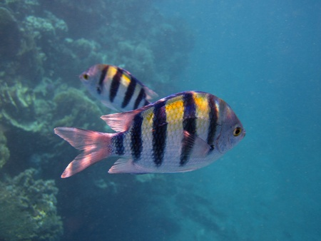 small black and yellow striped fish swimming in coral reef in the sea egypt Stock Photo - 12079238