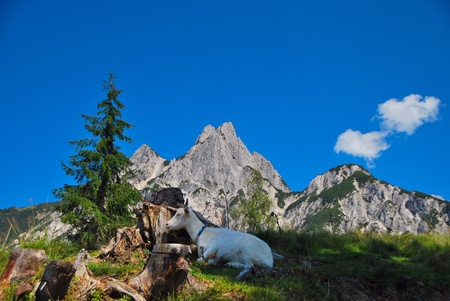 mountain goat lies in the grass in front of a fir tree stump and mountain Stock Photo - 12342388