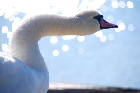 large white swan on the lake shake in the summer photo