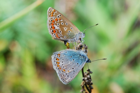 two blue butterflies in the butterfly sits on summer bloom Archivio Fotografico