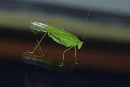 large green grasshopper is on a smooth glass surface photo
