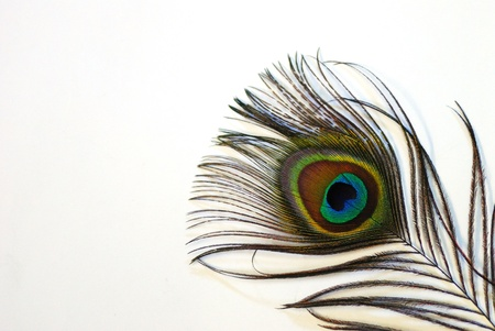 shining brightly colored colorful peacock feather on white background in large view