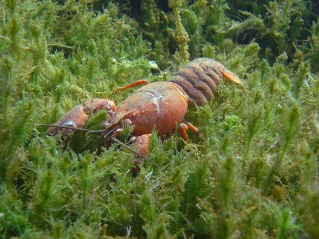 big red crayfish in the seagrass in the summer at the lake Stock Photo - 13024315