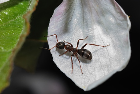black brown ant is sitting on a white flower photo