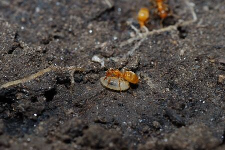 small red ant is busy with a small ant larva in the earth photo