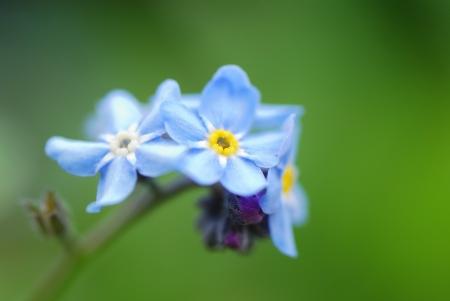 Flores frescas en la primavera y no te olvides de mi jardín Foto de archivo - 14129142