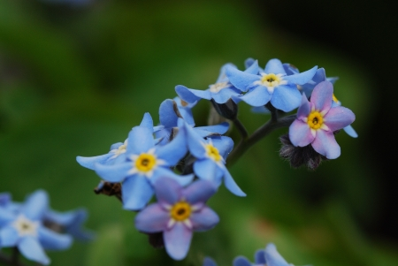 fresh blue flowers in spring and do not forget my garden photo
