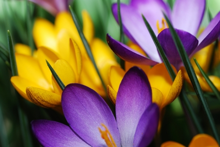 many different colorful crocus flower show details