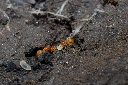 small red ant with ant larvae in the earth photo