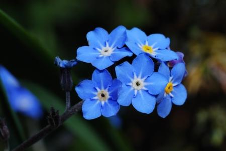 fresh blue forget-me-not flower show details Archivio Fotografico